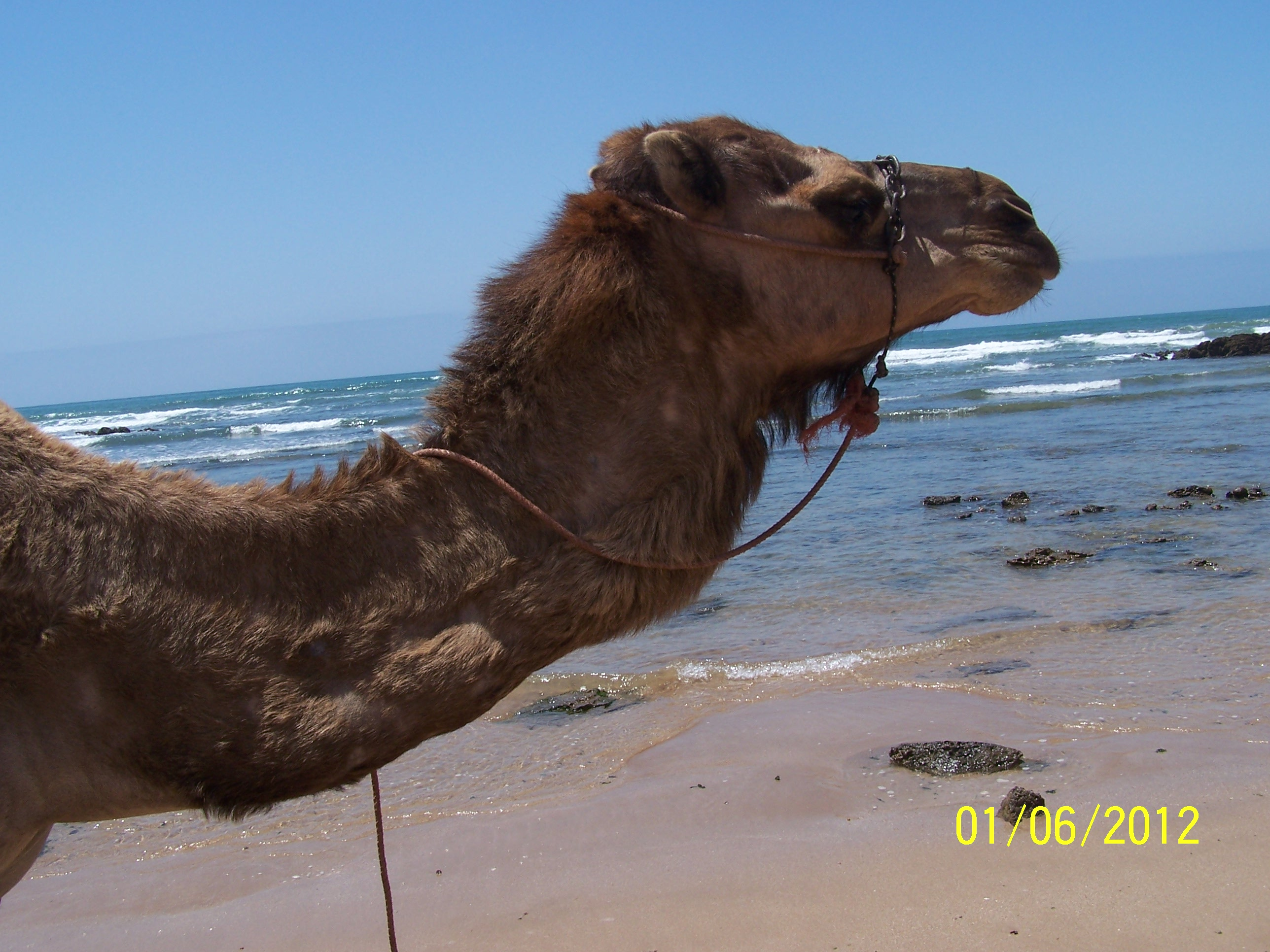 camel riding in the beach